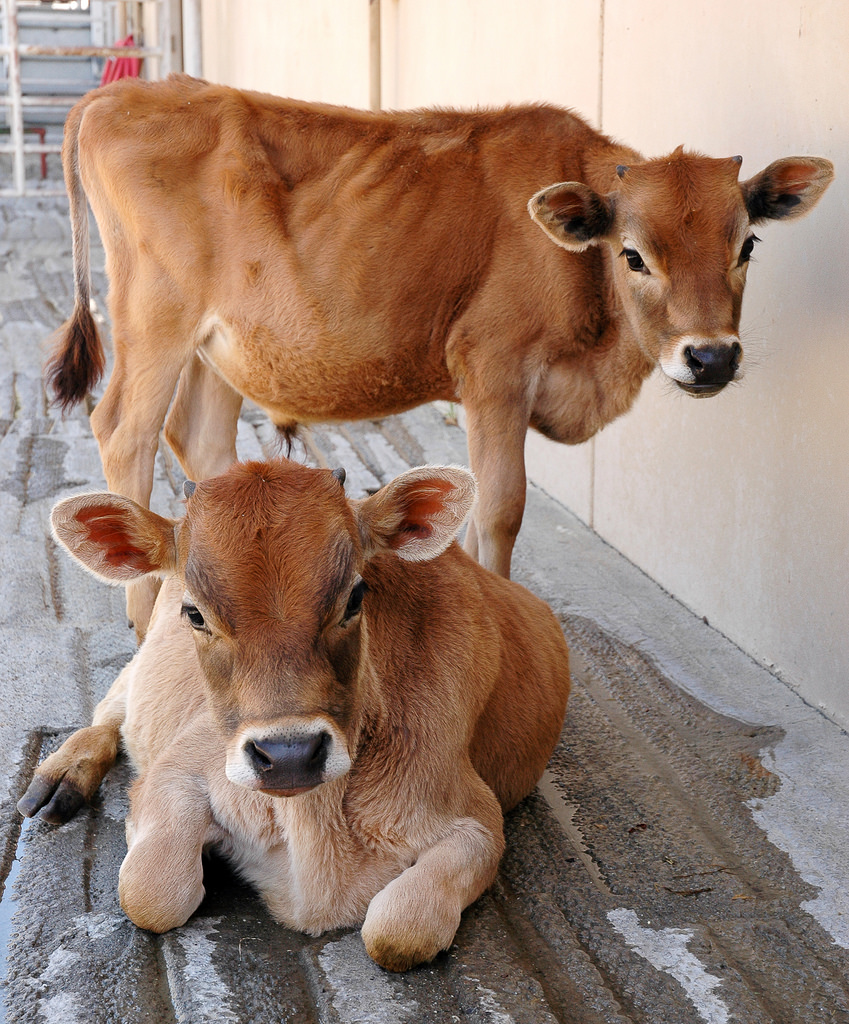 two calves waiting for procedures